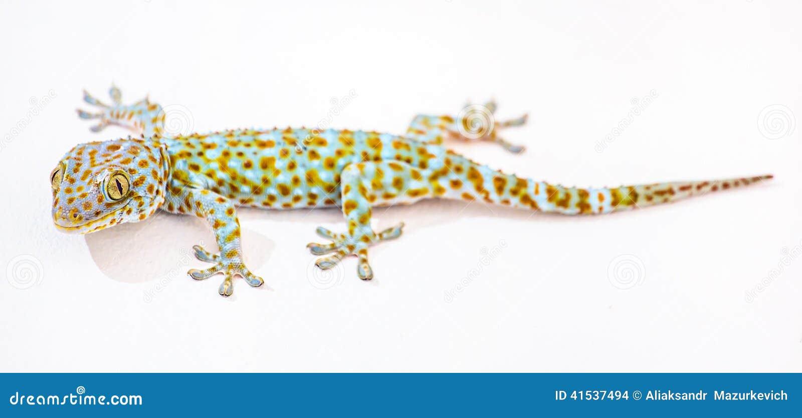 Gecko Thaïlande de Tokay