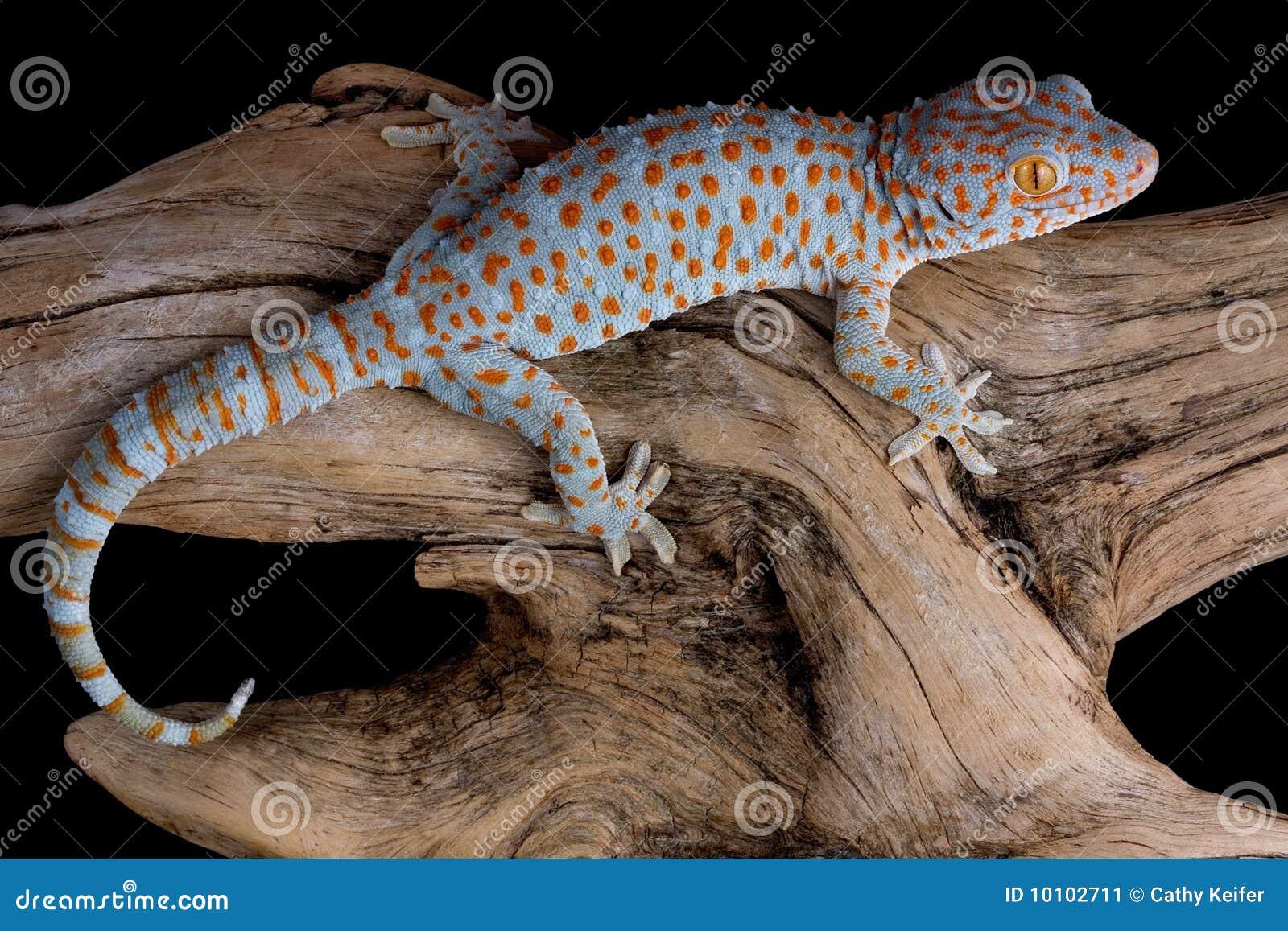 Gecko tokay de rampement