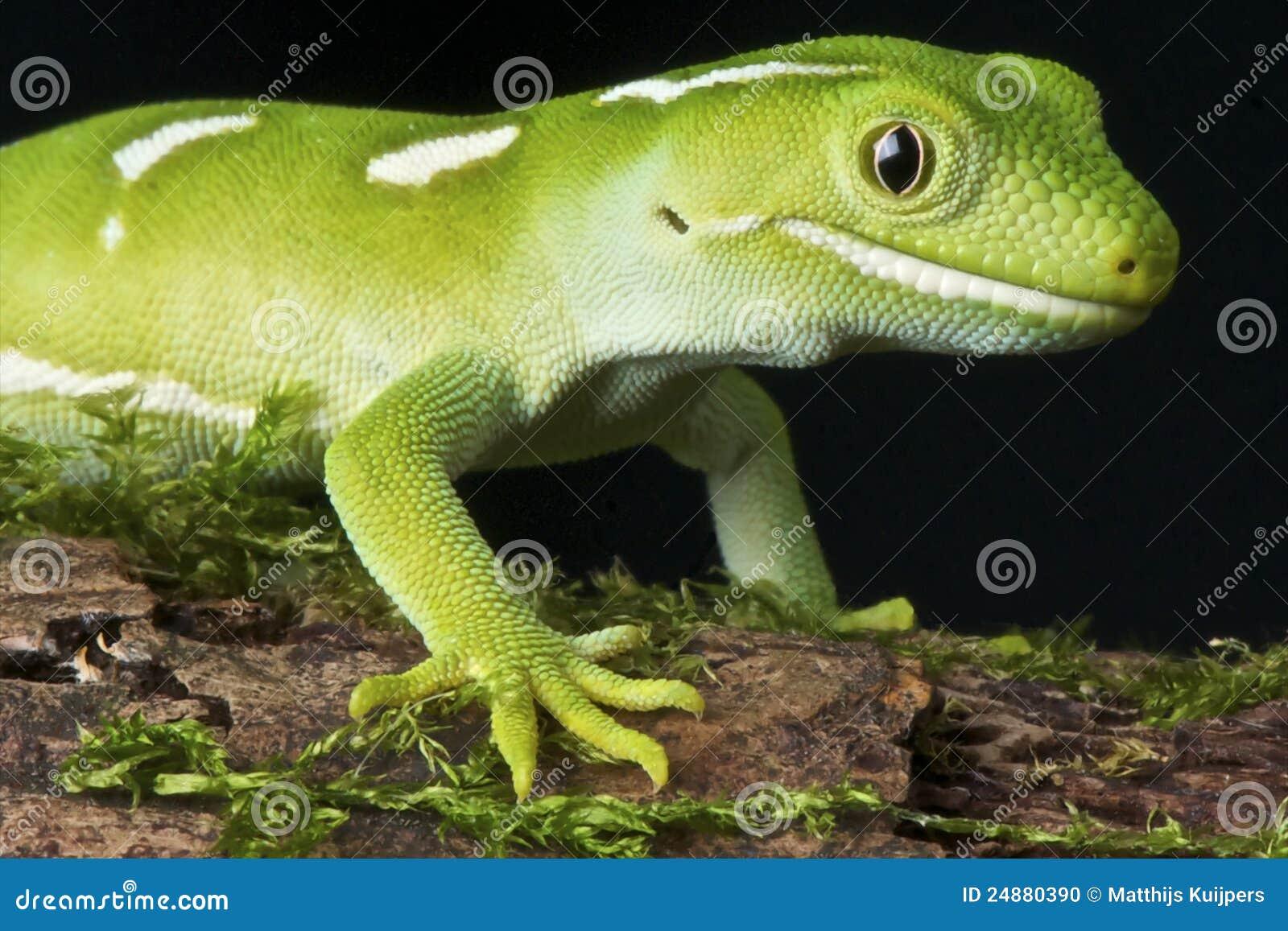 Gecko vert d Auckland