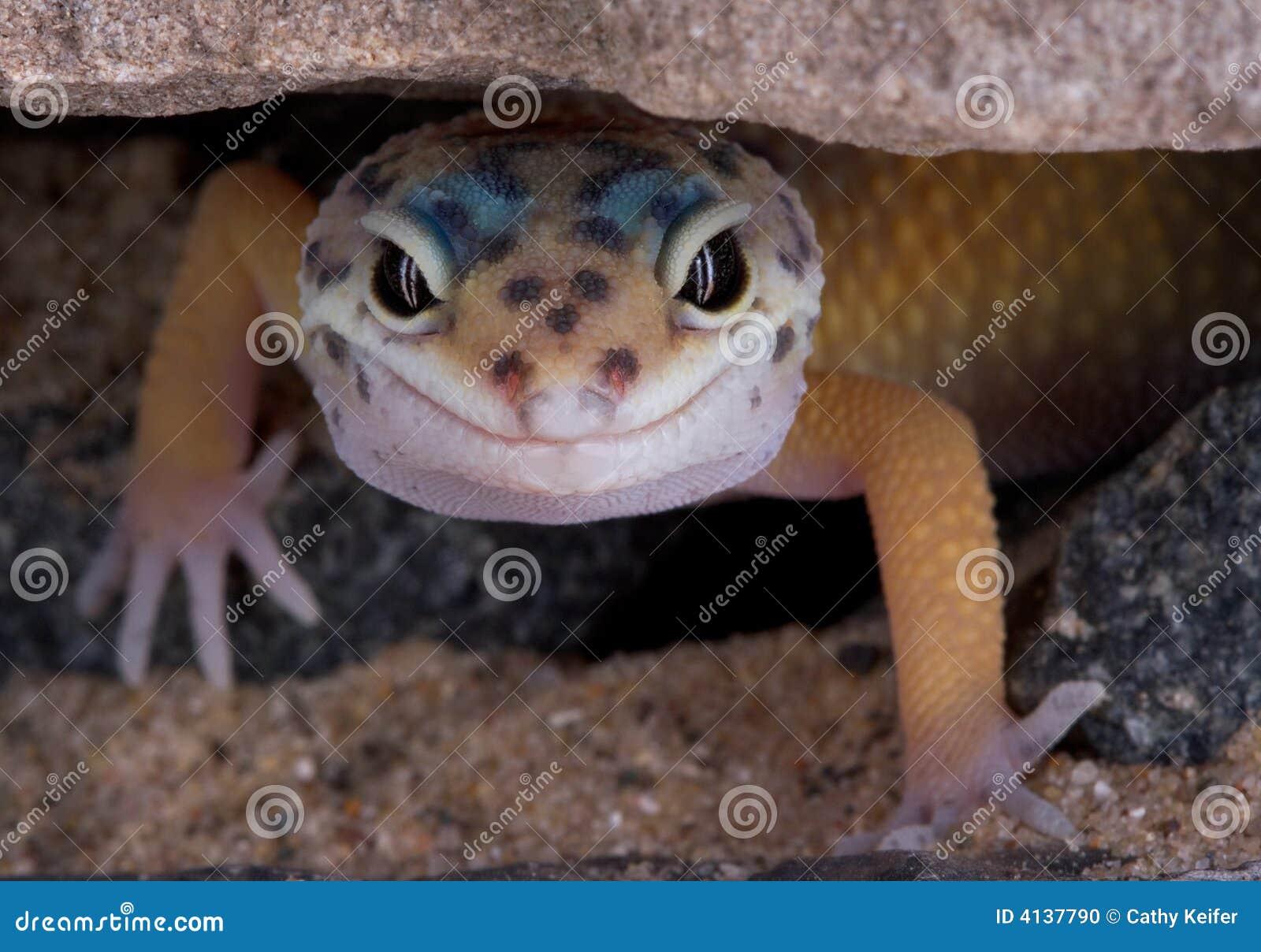 Geckoleopardrock som under stirrar