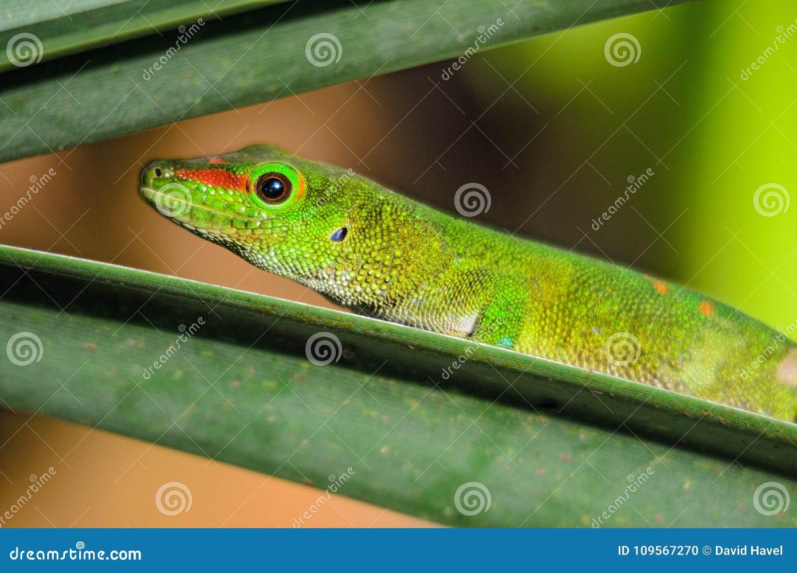 Geco do dia de Madagáscar - madagascariensis de Phelsuma