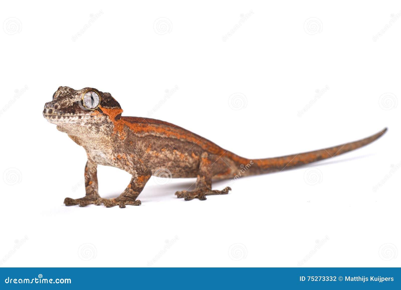 Geco gigante Botão-dirigido (auriculatus de Rhacodactylus)
