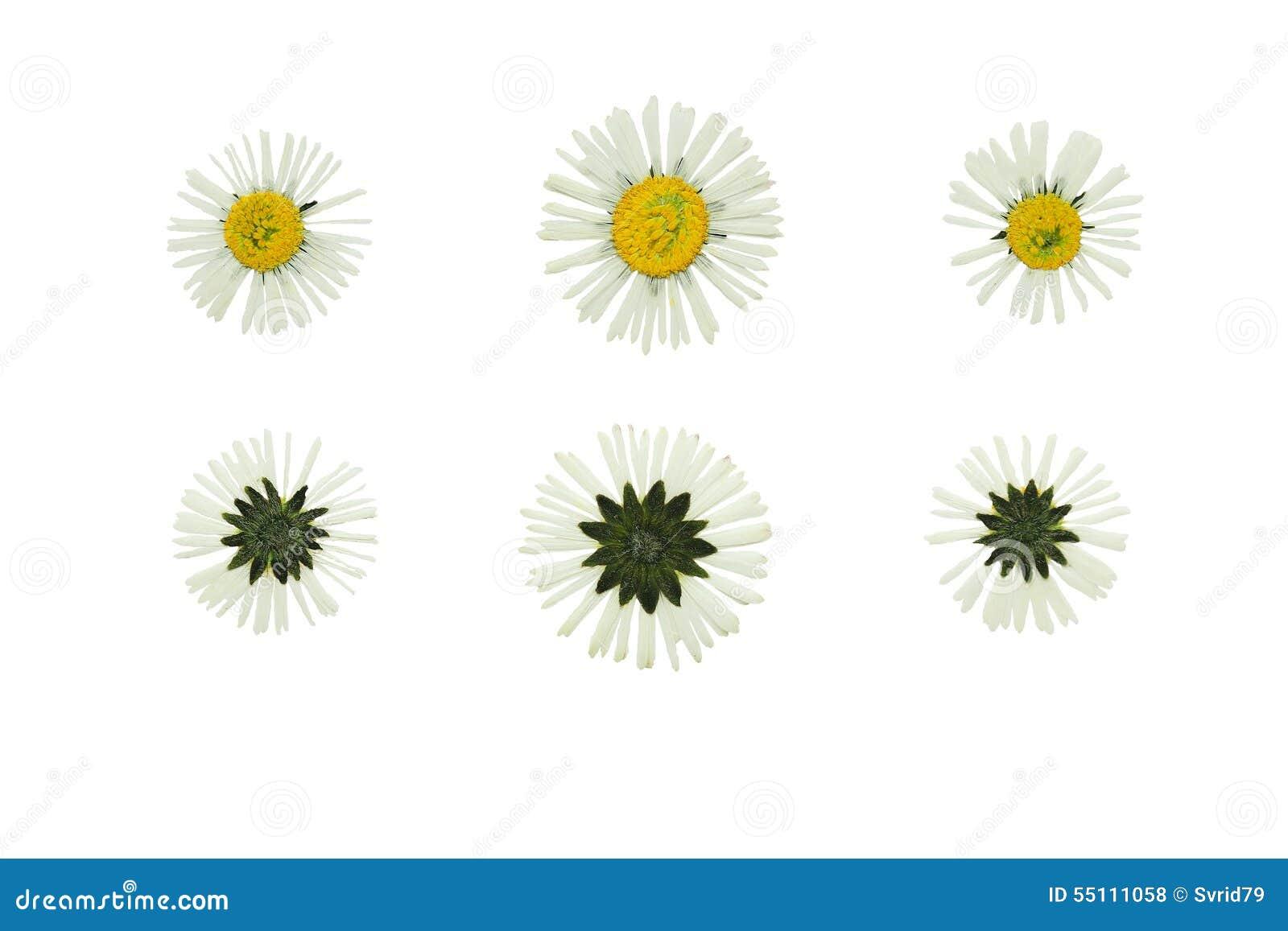 Gedrukt en Droog bloemmadeliefje (margriet) Geïsoleerd op witte bedelaars