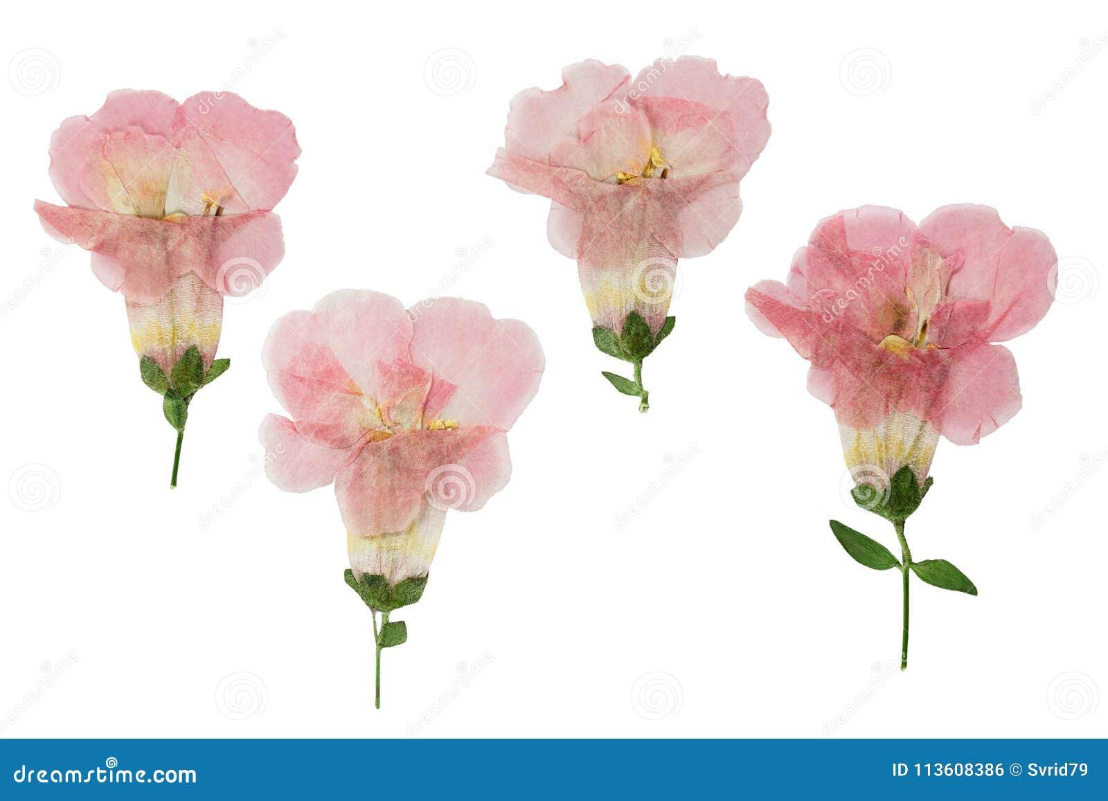Gedrukt en droog die bloemenklokje, op wit wordt geïsoleerd