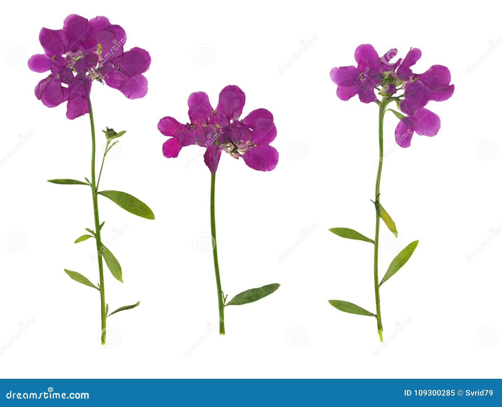 Gedrukte en droge die bloem Iberis, op wit wordt geïsoleerd