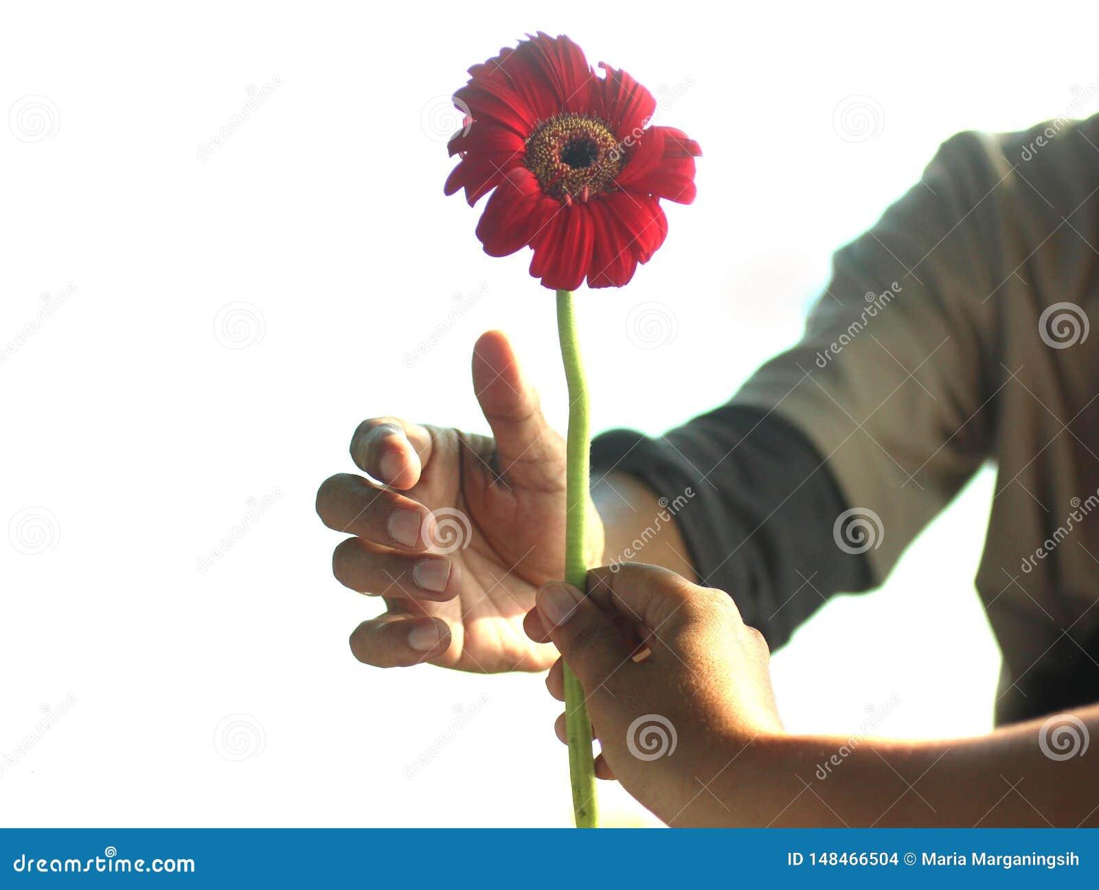 Geef en ontvang in een verhoudingsconcept met de bloem van het gerberamadeliefje, een eeuwigdurende installatie Een vrouwenhand h