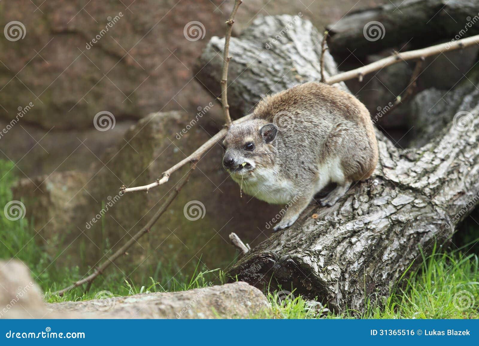 Geel-bevlekte rots hyrax