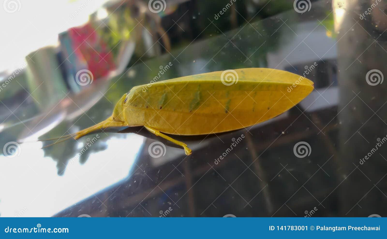 Geel bladinsect op windscherm
