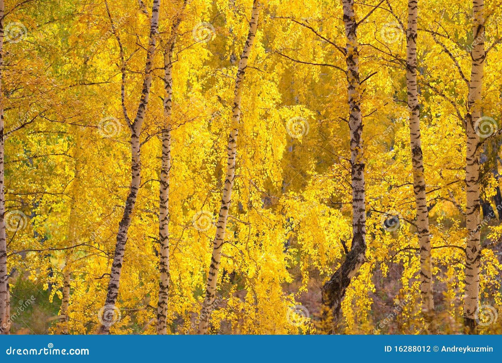 geel de berkenbos van de herfst 16288012 - Berkenbos Behang