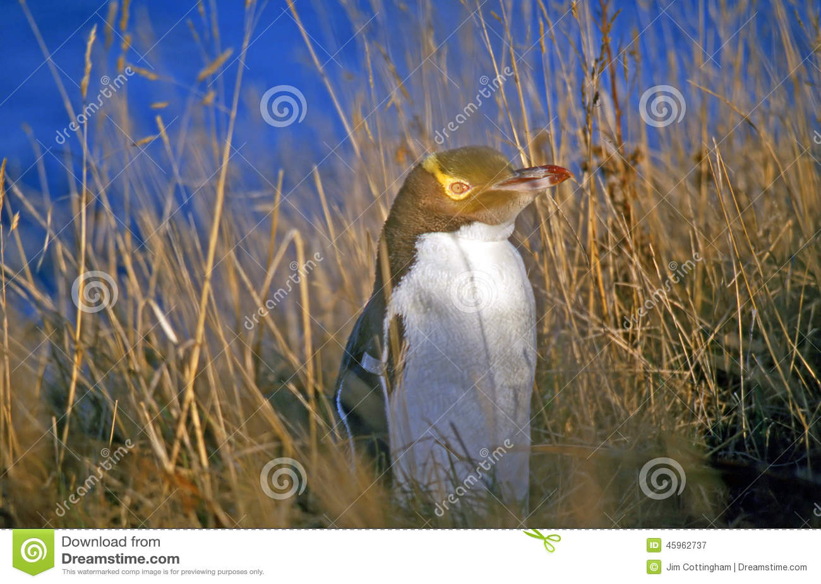 Geel-eyed Pinguïn