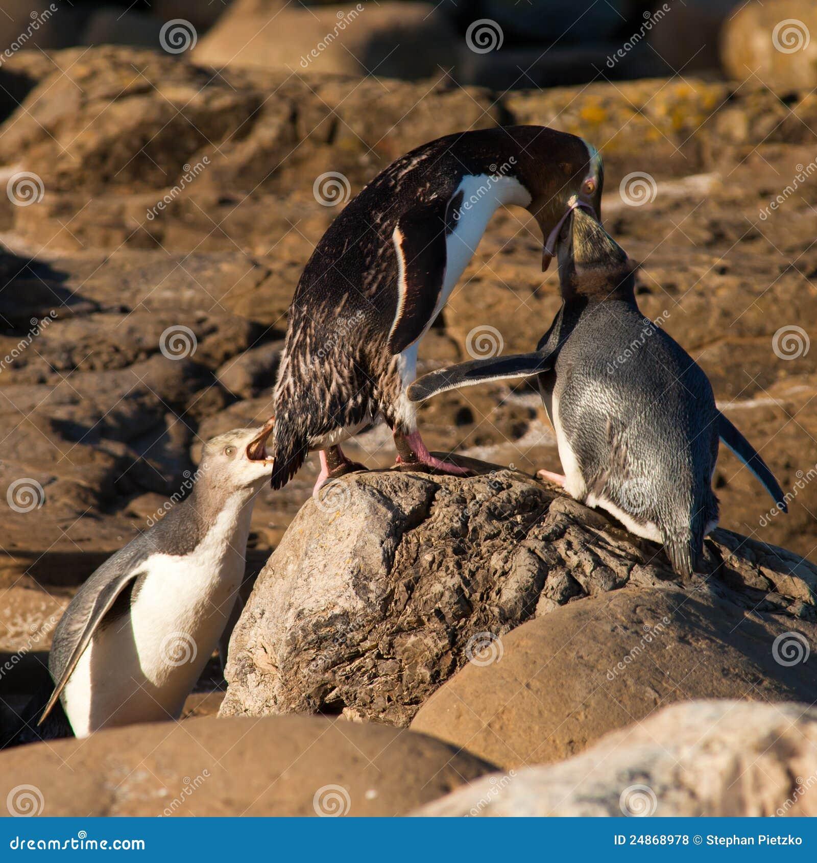 Geel-Eyed Pinguïnen NZ of Hoiho die de jongelui voeden