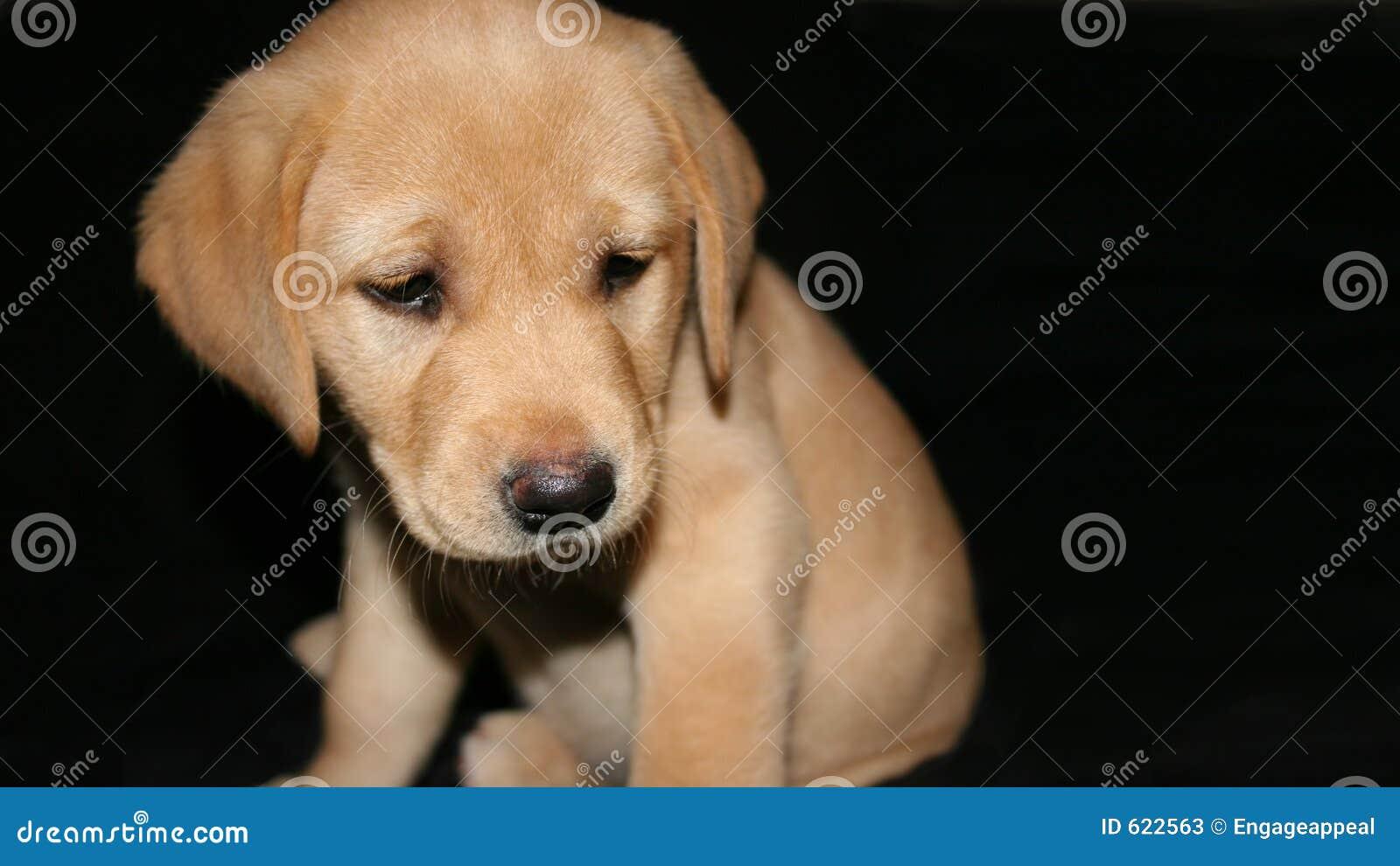 Geel Labrador puppy2