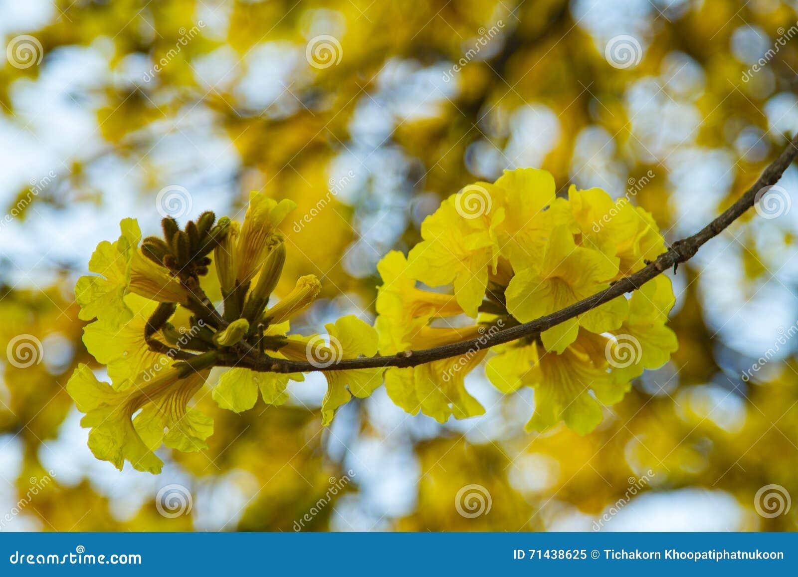 Geel Pui Flowering