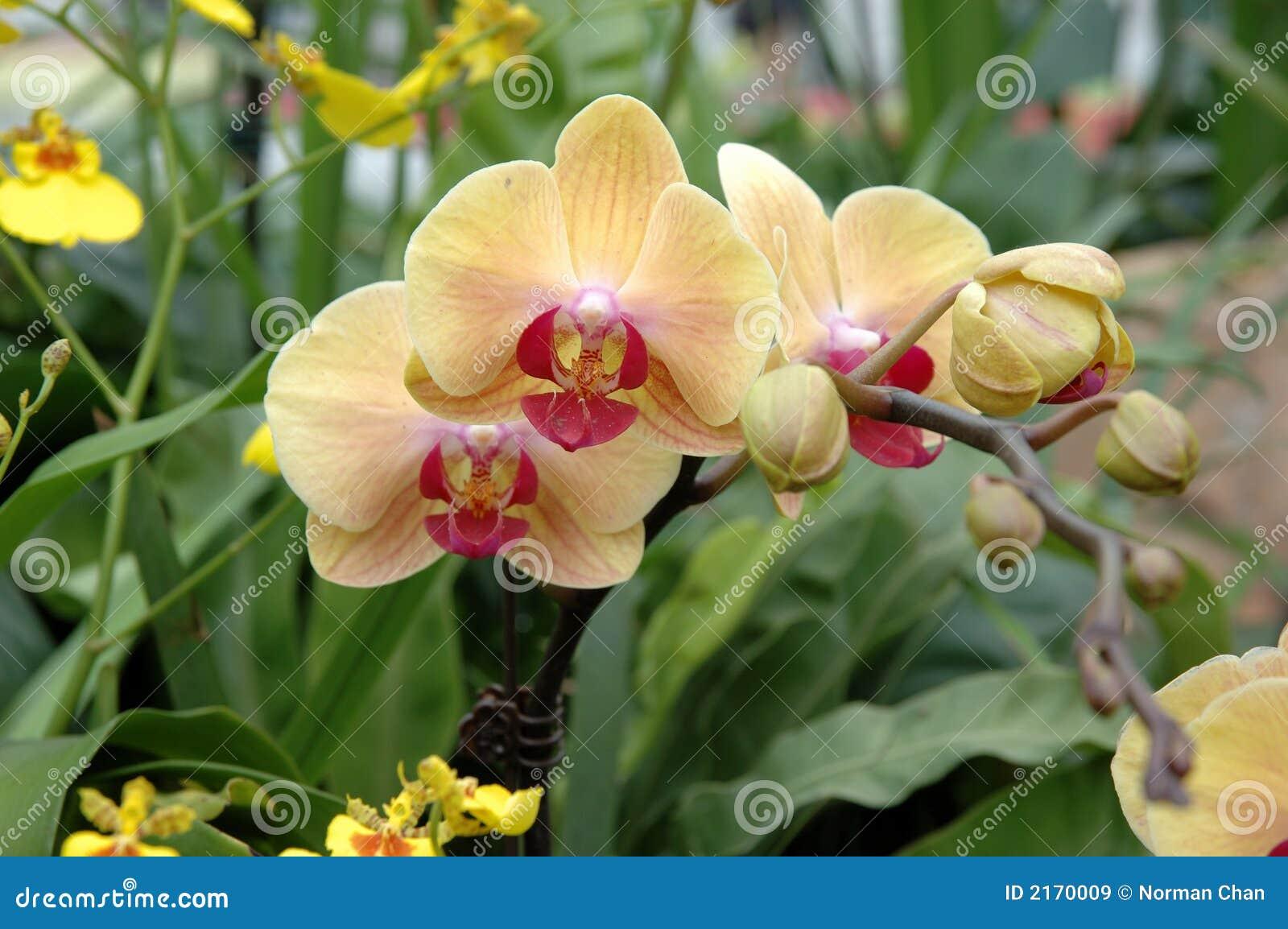 Geel-roze orchideeën