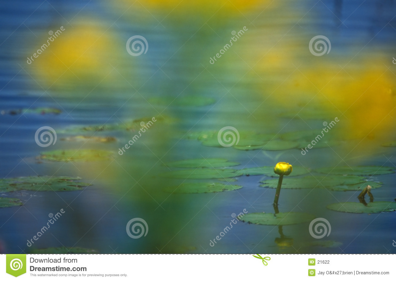 Geel water lilly
