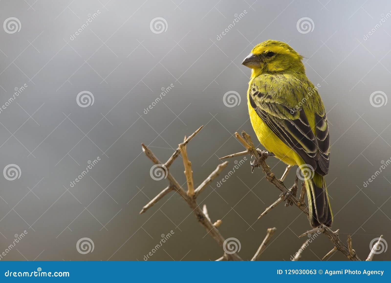 Geelbuiksijs, canarino giallo, flaviventris del Serinus