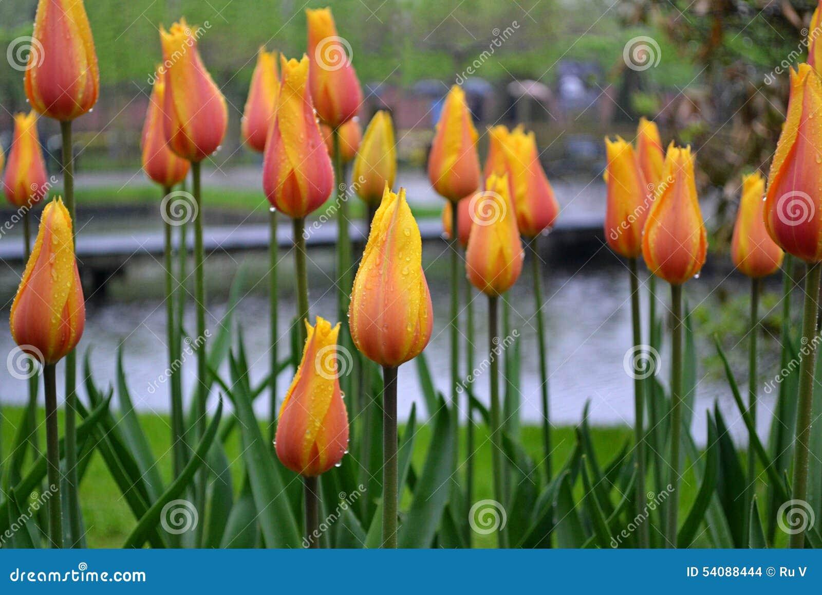 Geeloranje bloemen in de regen