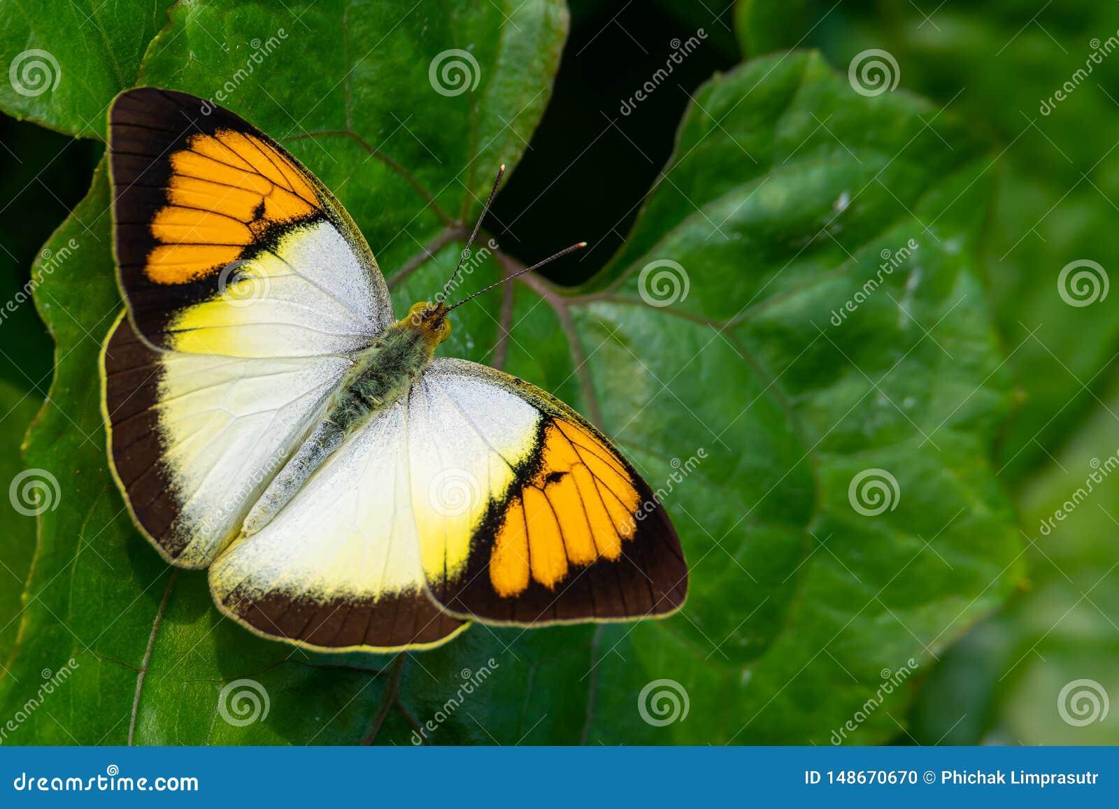 Geeloranje Uiteindevlinder die op blad in een prominente, zonnige positie neerstrijken