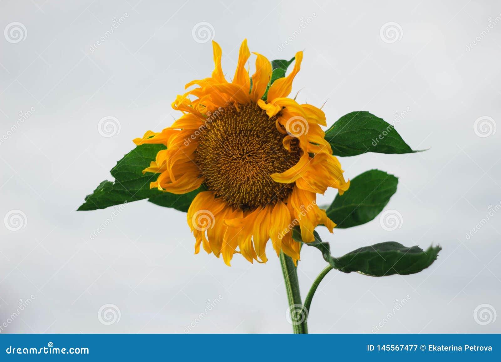 Geeloranje zonnebloem met groene bladeren op witte hemelachtergrond De close-up van de zonnebloem Grote Gele Bloem