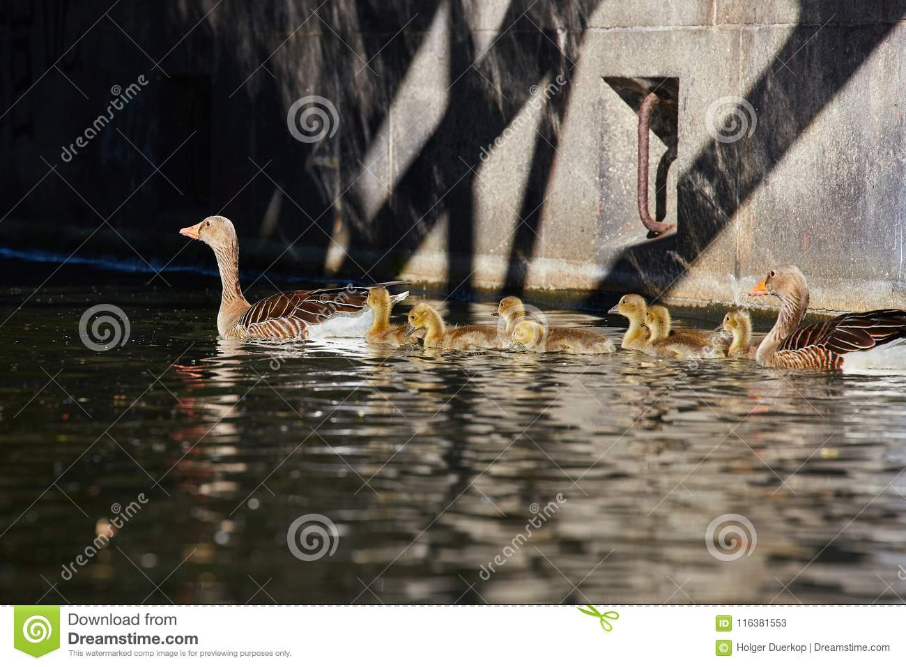 Geese family makes a trip on the `Eilbekcanal` in Hamburg