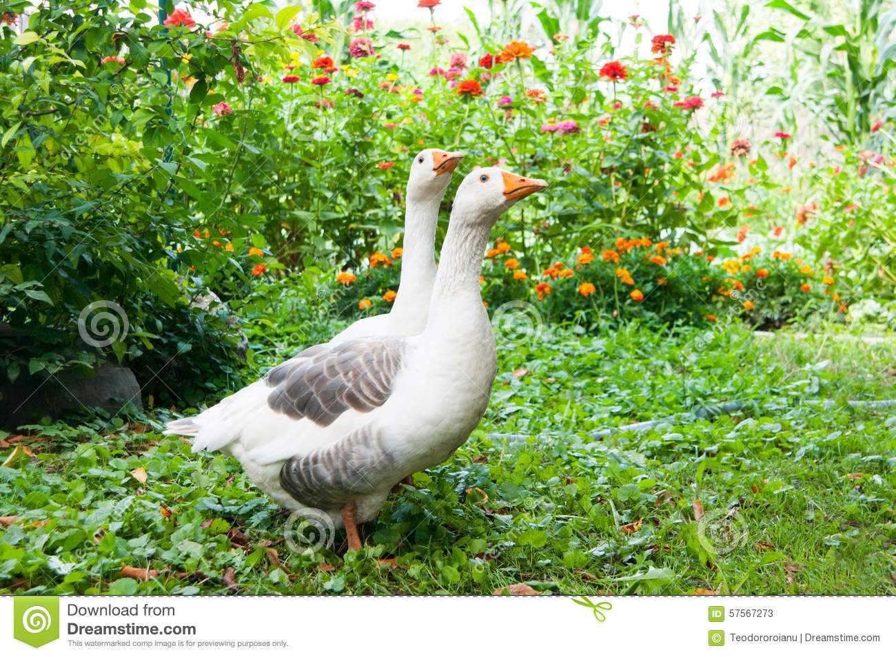 Geese couple