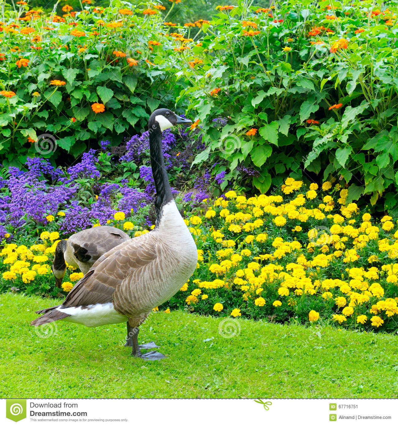 Geese And Flower Bed Stock Photo