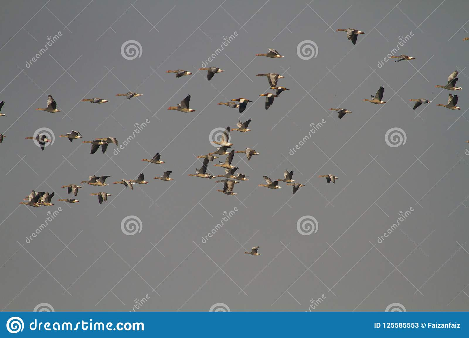Geese Flying In Formation With Blue Sky Stock Image - Image