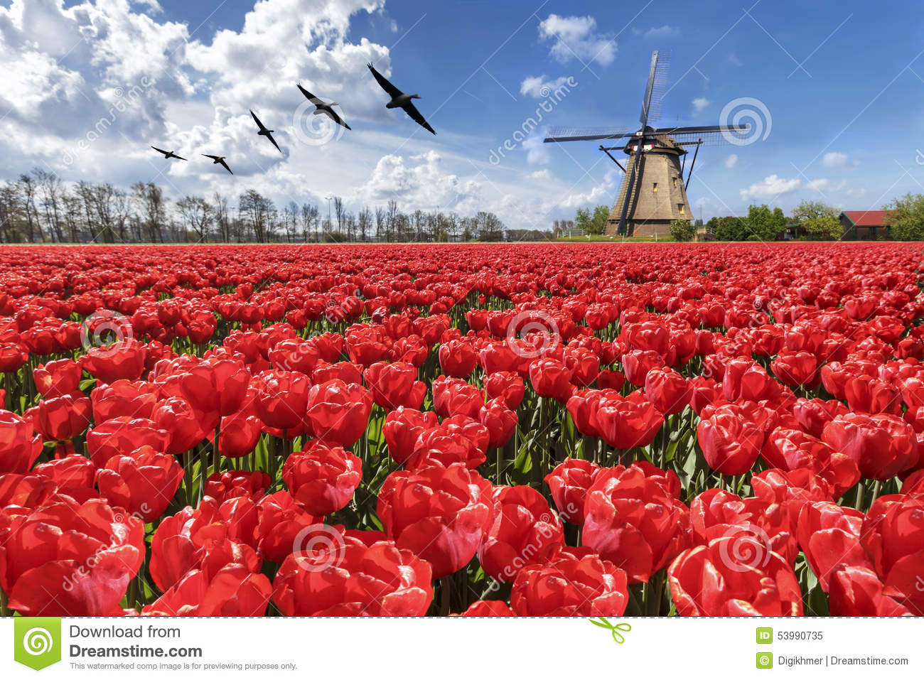 Geese flying over endless red tulip farm