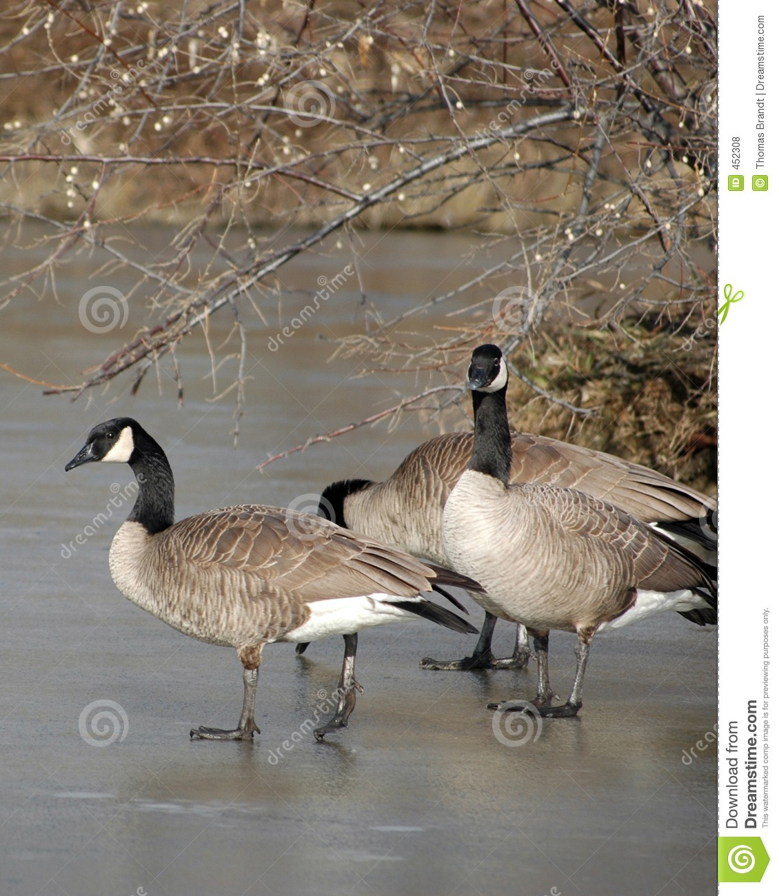 Canada geese on frozen pond