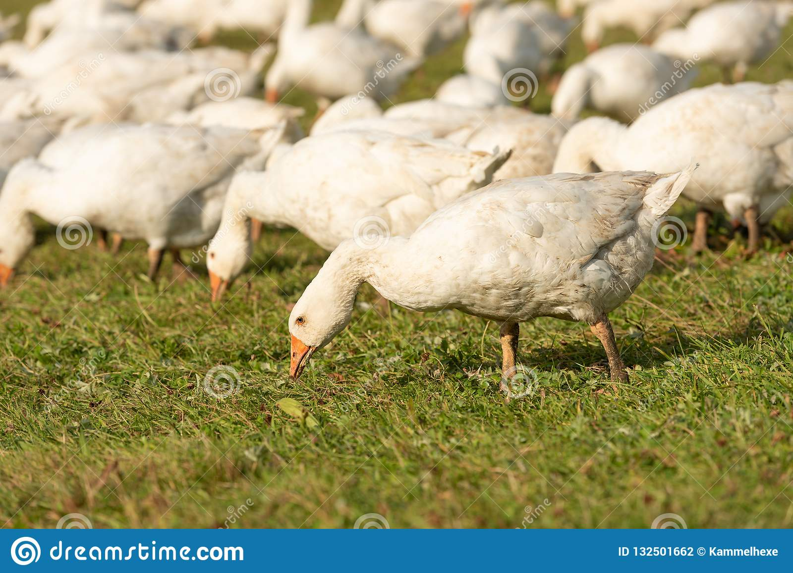 Geese pecking forage from the grass