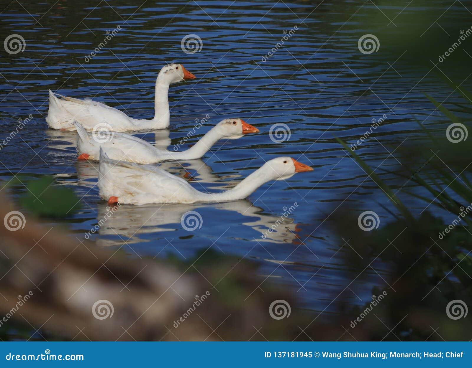 Goose; goosey; goosie