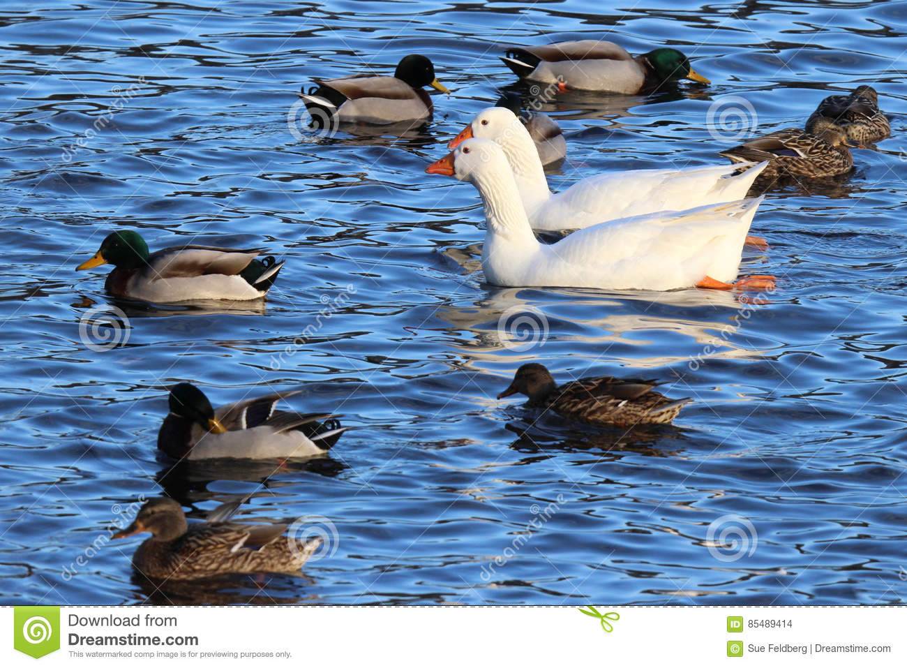 Geese Swimming with Ducks