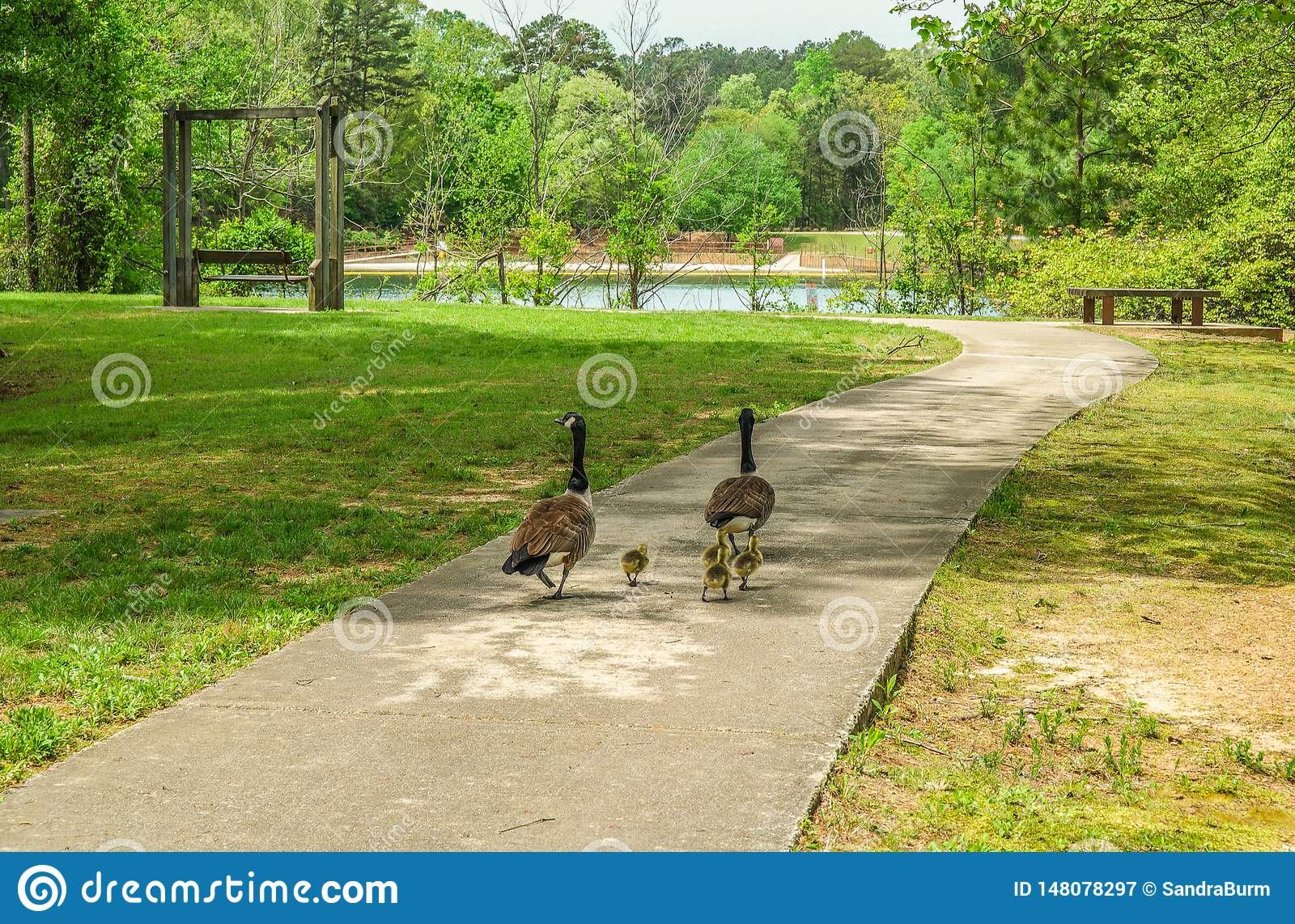 Geese walking in the park