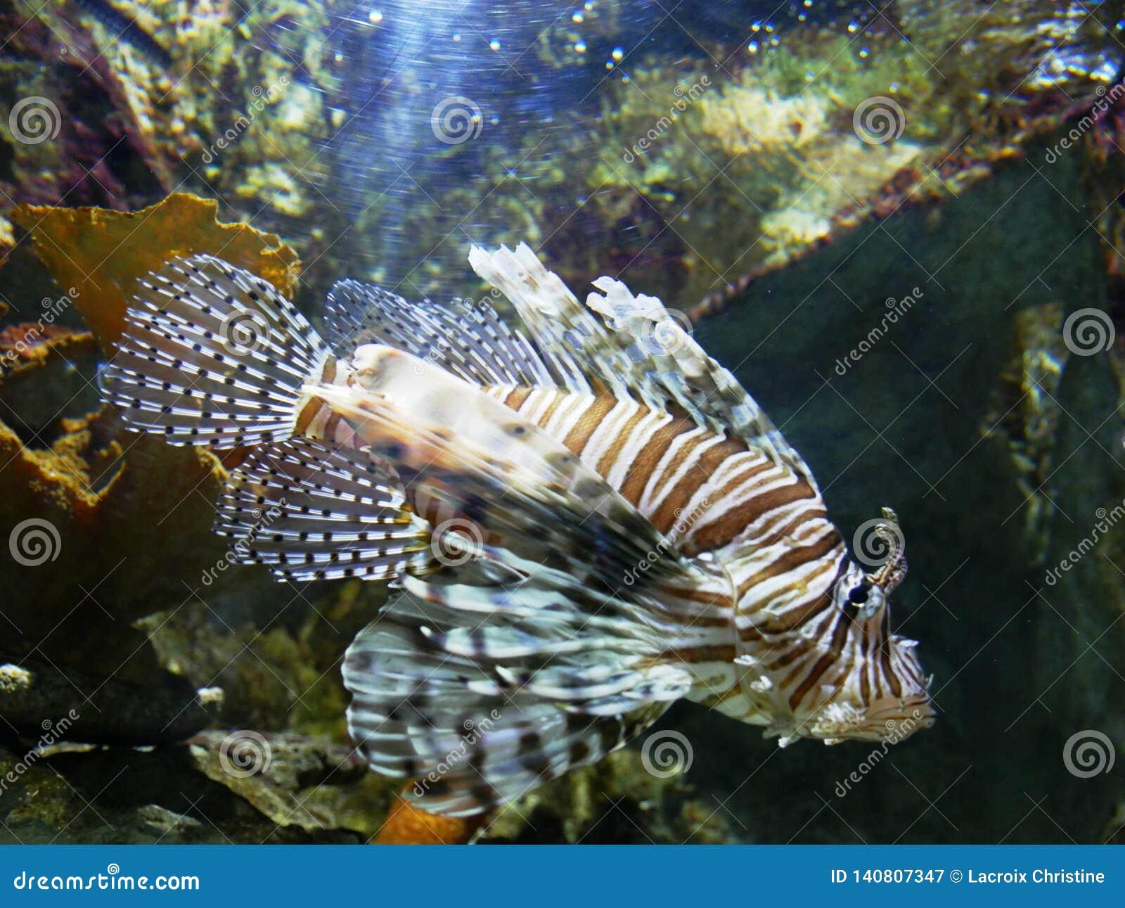 Gefährliche Löwefische am Gosier-Aquarium in Guadeloupe