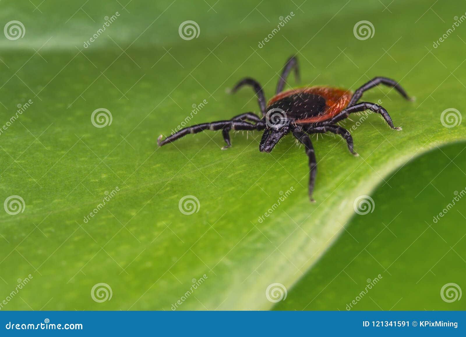 Gefährliche Rotwildzecke auf einem grünen Hintergrund Ixodes Ricinus