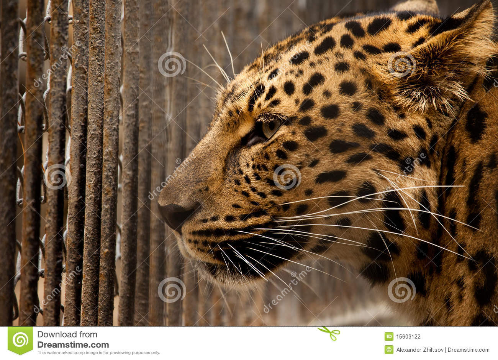 Gefängnis für Leoparden