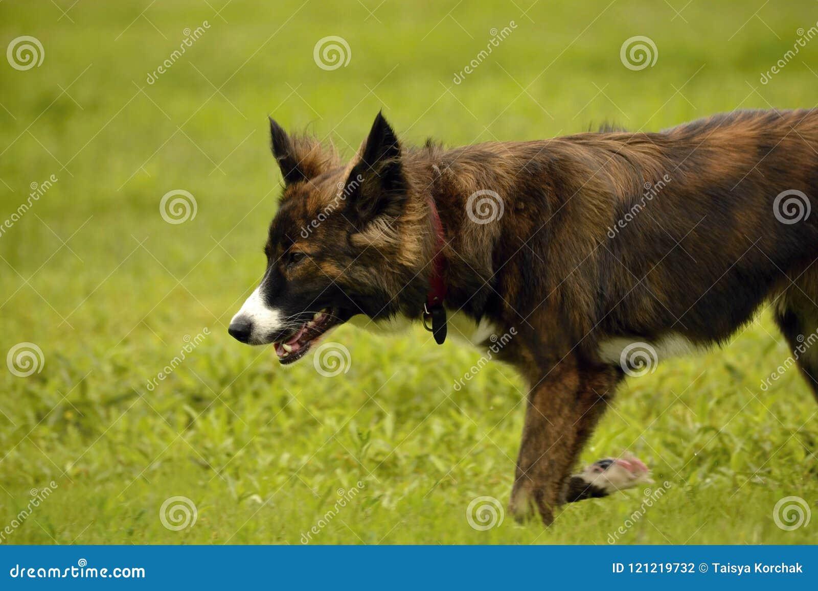 Gefühle von Tieren Junger Energiehund auf einem Weg Welpenbildung, cynology, intensives Training von jungen Hunden Gehende Hunde