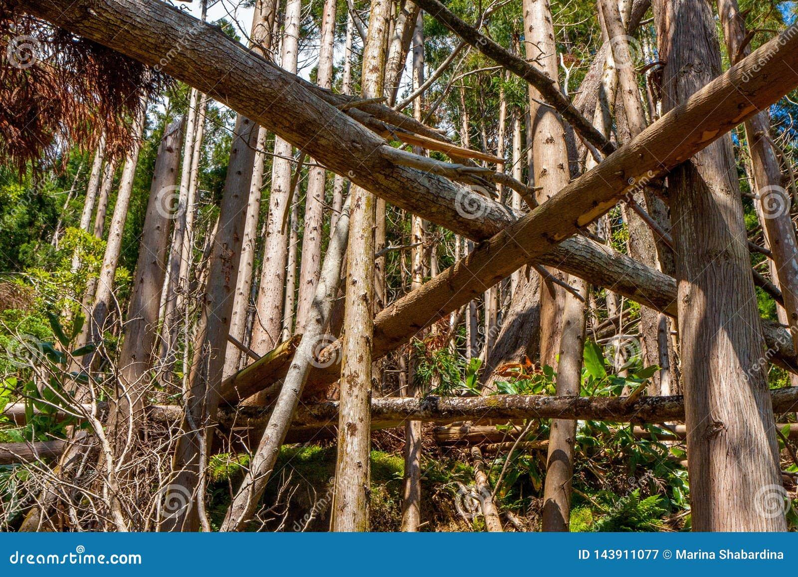 Gefallene Bäume im Koniferenwald