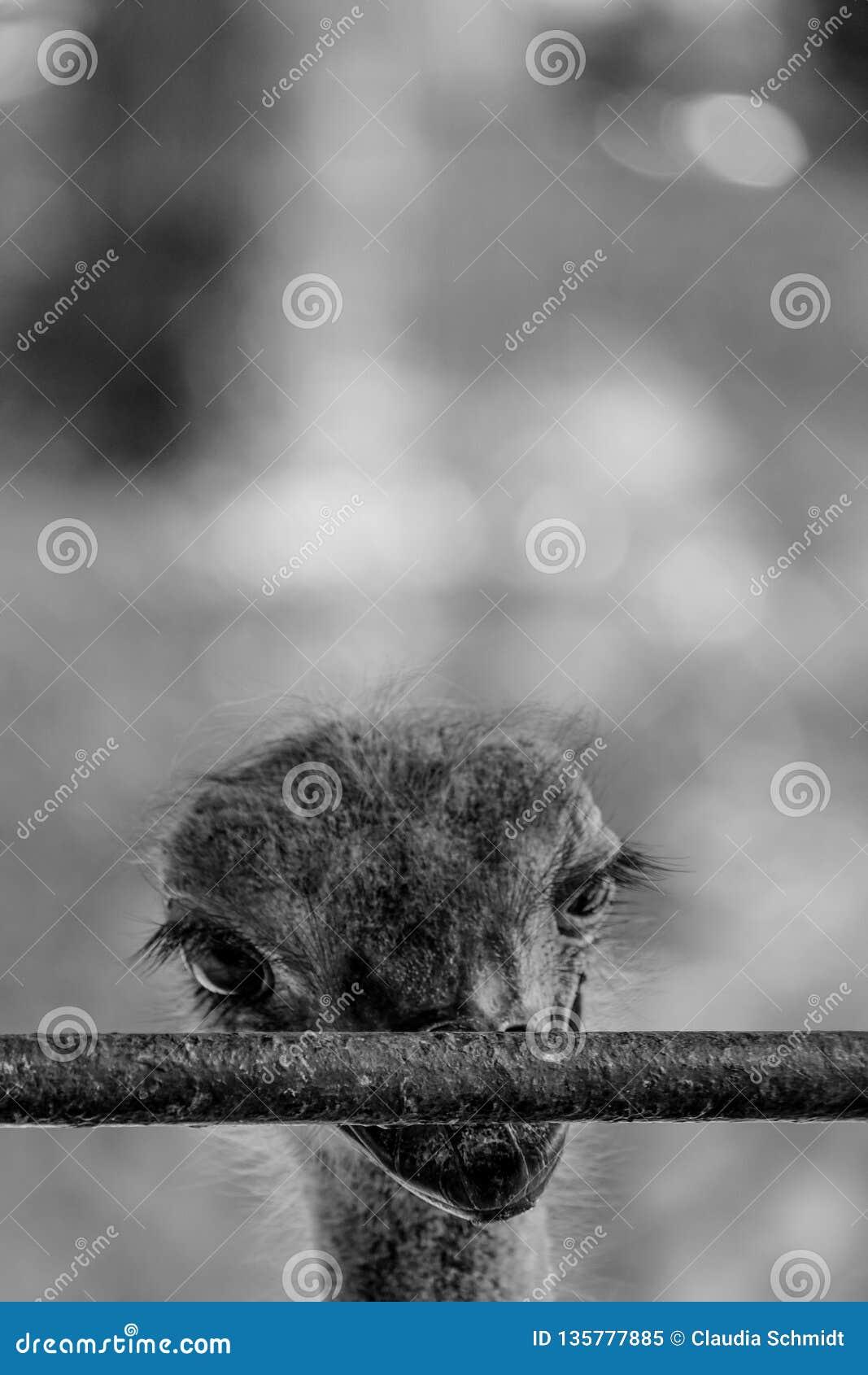 Gefangengenommenes Emu hinter Gittern