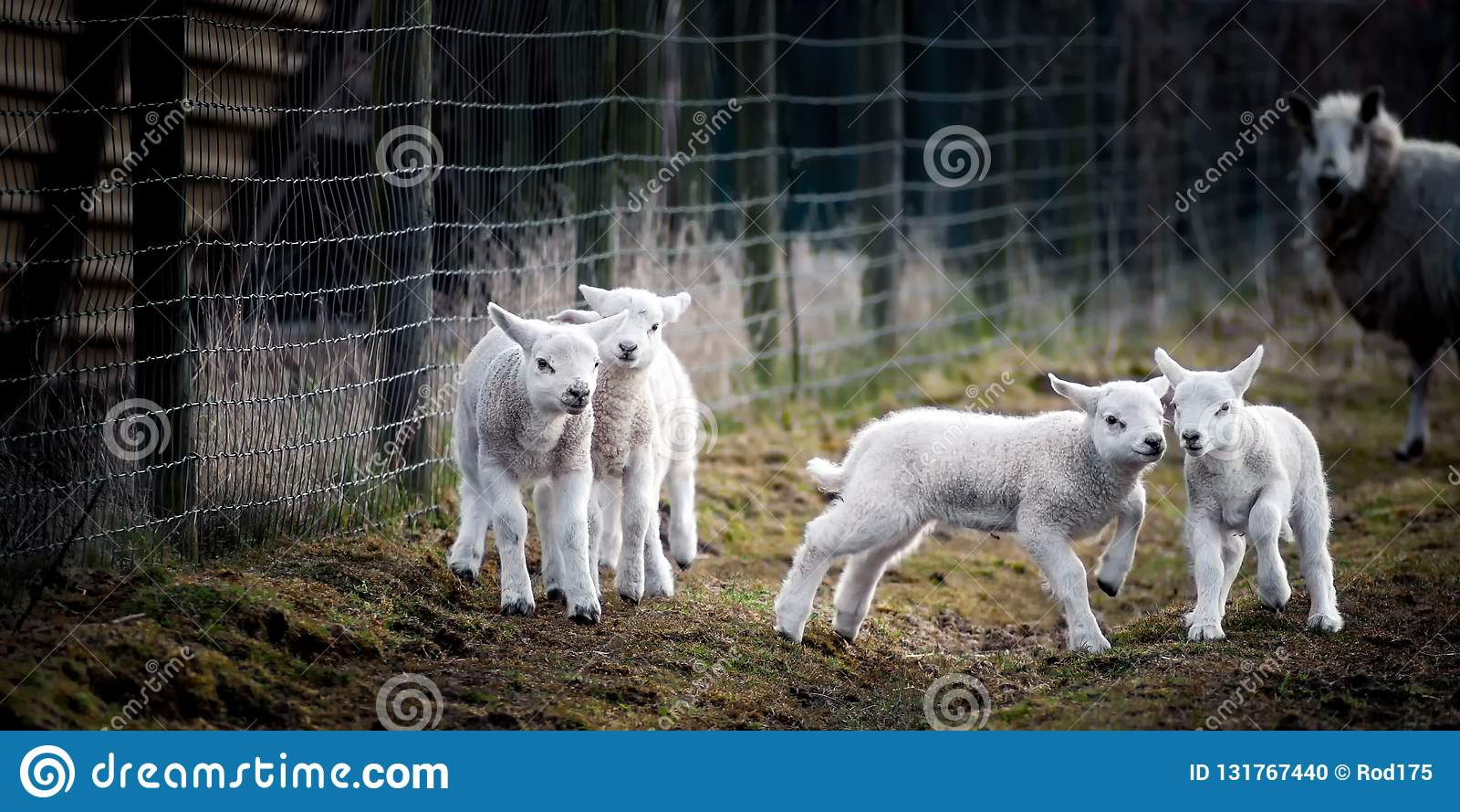 Gefotografeerd op de Vrijdag 29 Maart 2013 Sommige jonge lammeren die van het leven genieten en uit op het gebied spelen, terwijl