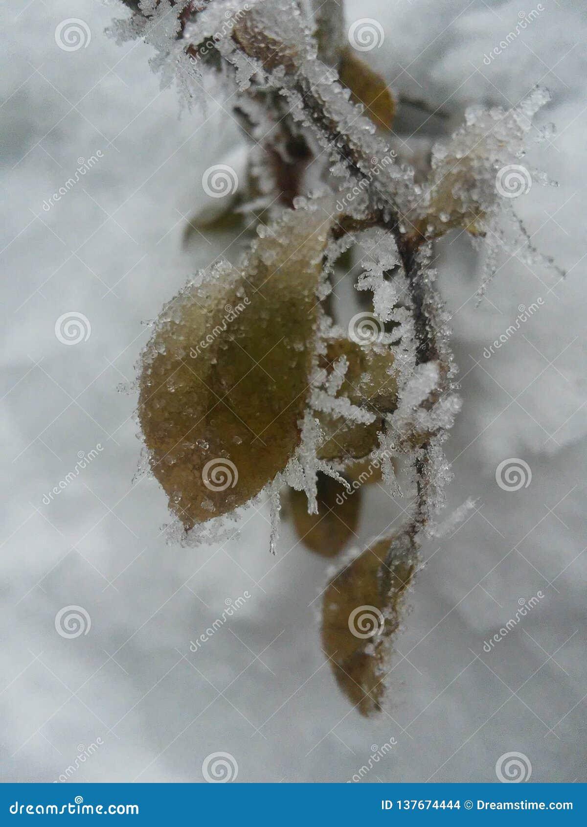 Gefrorene rote Beeren rowen an den Baum, der mit Frost Winter- oder Weihnachtsbild bedeckt wird montana Winter in Idaho Vereinigt