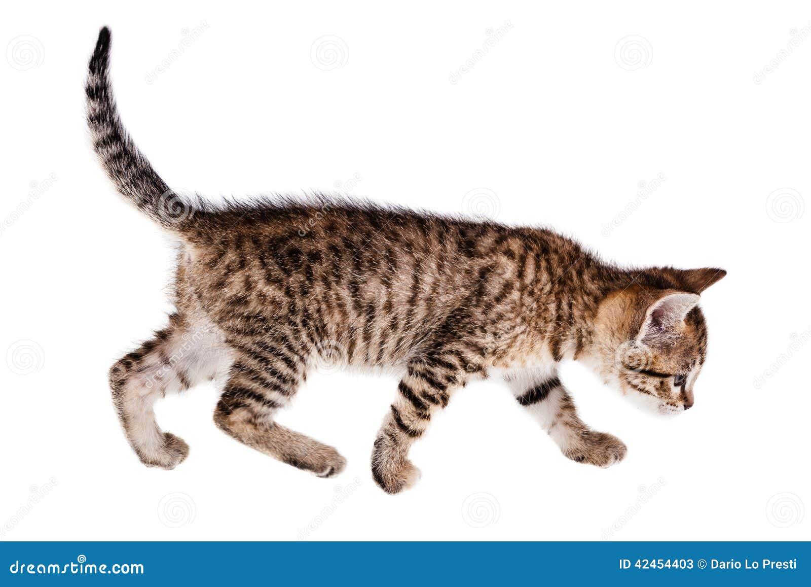 Gehendes Kätzchen