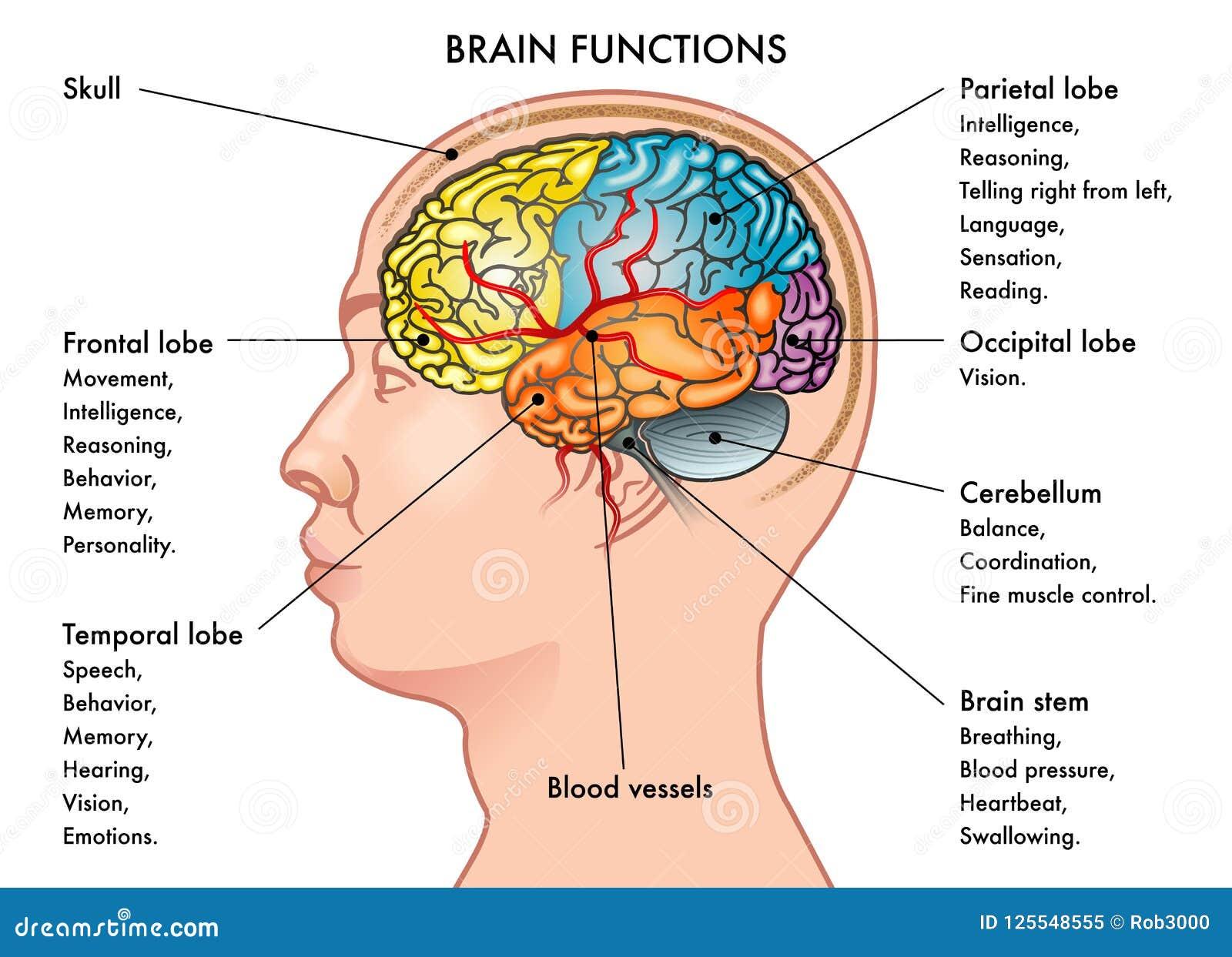 Gehirn arbeitet Diagramm