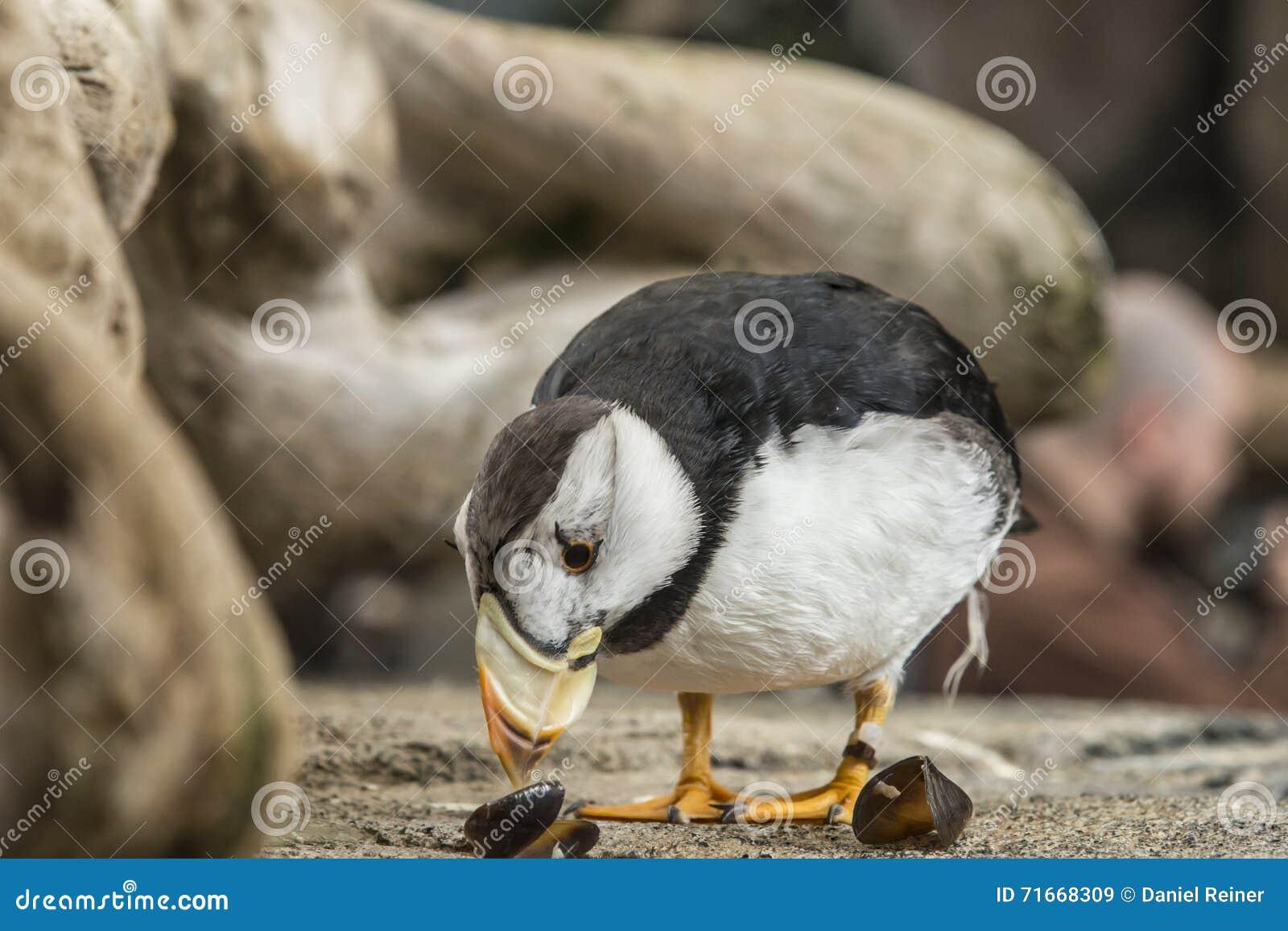 Gehoornde Papegaaiduiker
