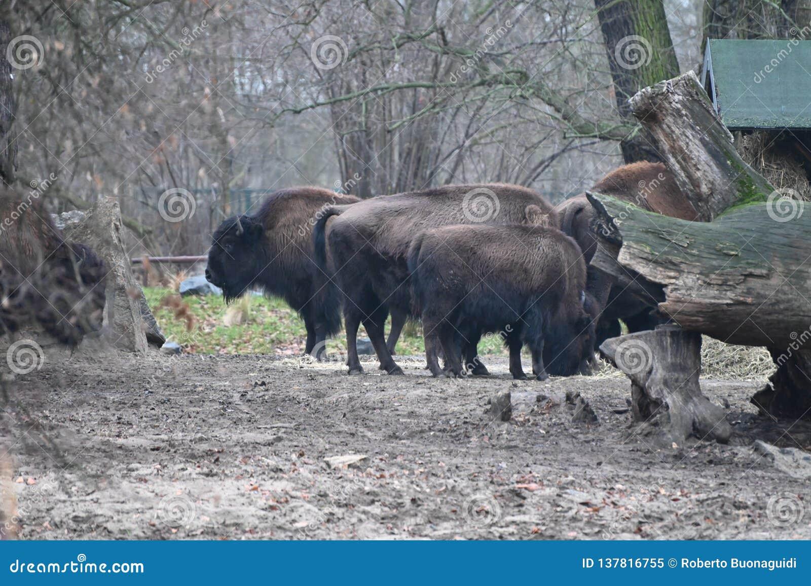 Gehouden van bizon