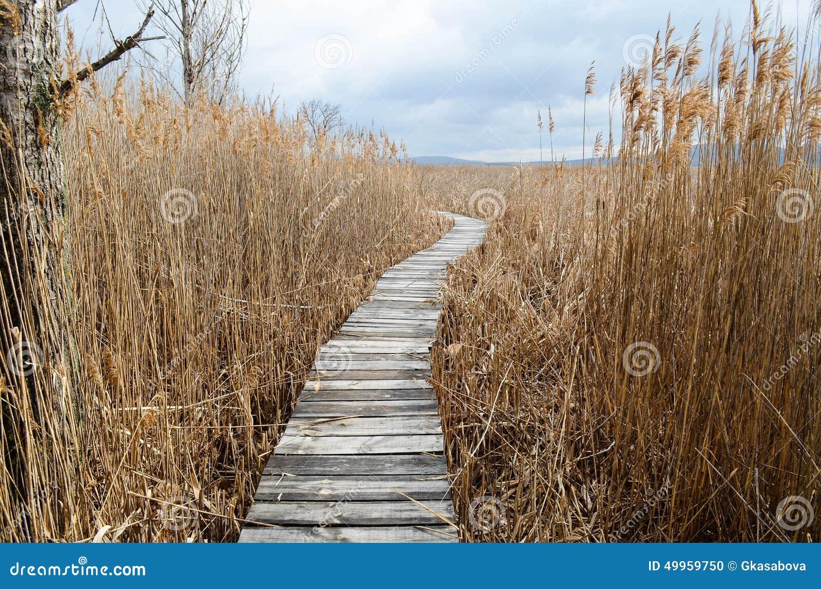 Gehweg im Bett des trockenen allgemeinen Schilfs im Sumpf in einer Reserve der wild lebenden Tiere