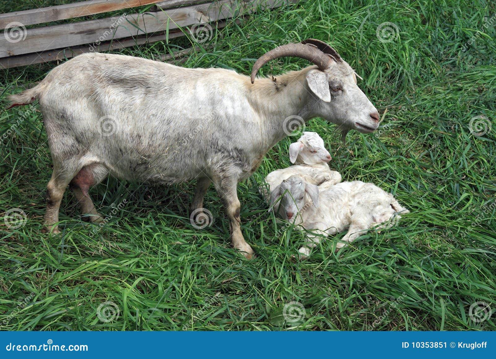 jonge geit