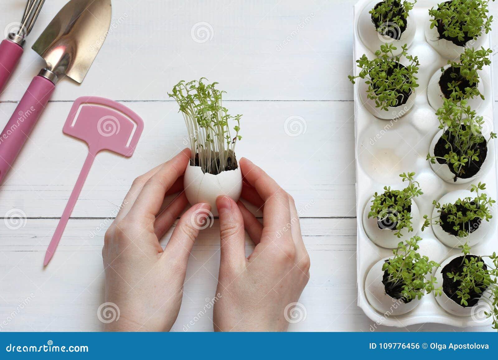 Gekeimte Sprösslinge in einer Eierschale in den weiblichen Händen