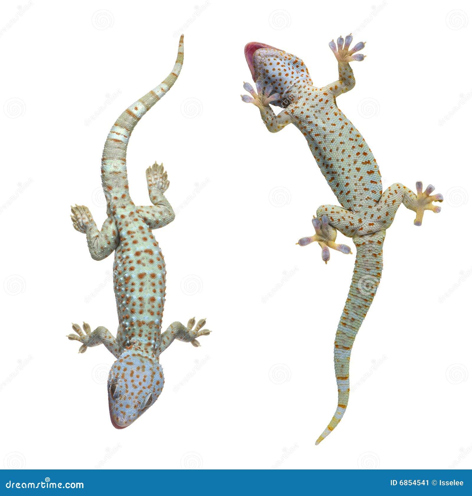 Gekko de gecko tokay