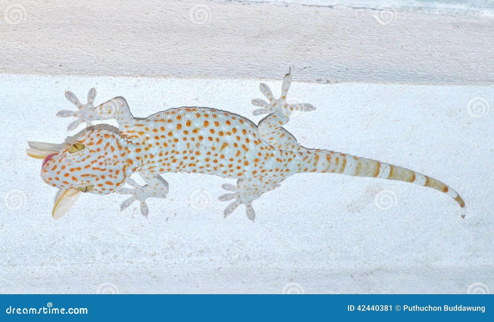 Gekkonidae de la salamandra